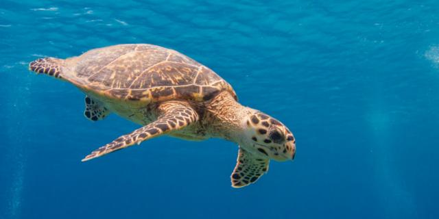 Mai così tante tartarughe a deporre le uova sulle spiagge thailandesi da 20 anni