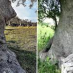 L'albero che nasconde un volto umano: l'Ulivo Pensante incanta il web