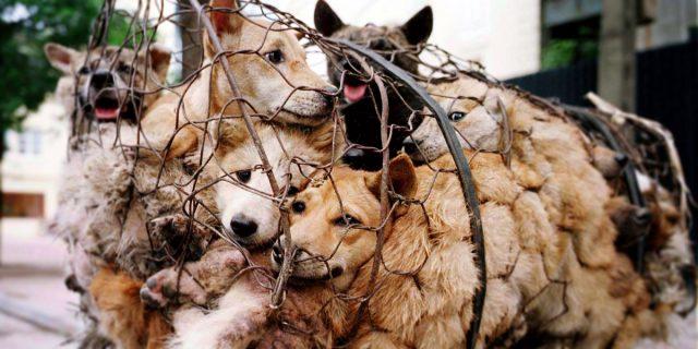 La mattanza dei cani del festival di Yulin, che neanche la pandemia ha fermato