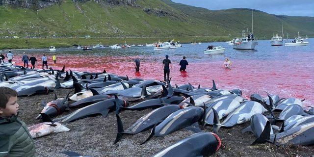 La mattanza di delfini delle isole Faroe che ha scioccato il mondo (di nuovo)