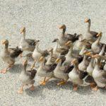 Cos'è il foie gras e perché è un alimento controverso