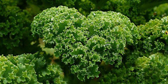 Il cavolo kale, un vero concentrato di nutrienti