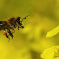 Puntura di ape: come riconoscerla e cosa fare