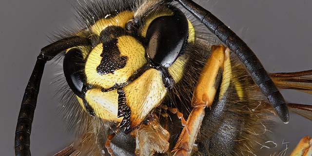 Puntura di vespa