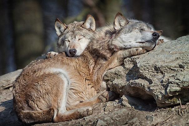 Cuccioli come Cuscini: la Tenera Pennichella di questi Dolcissimi Animali