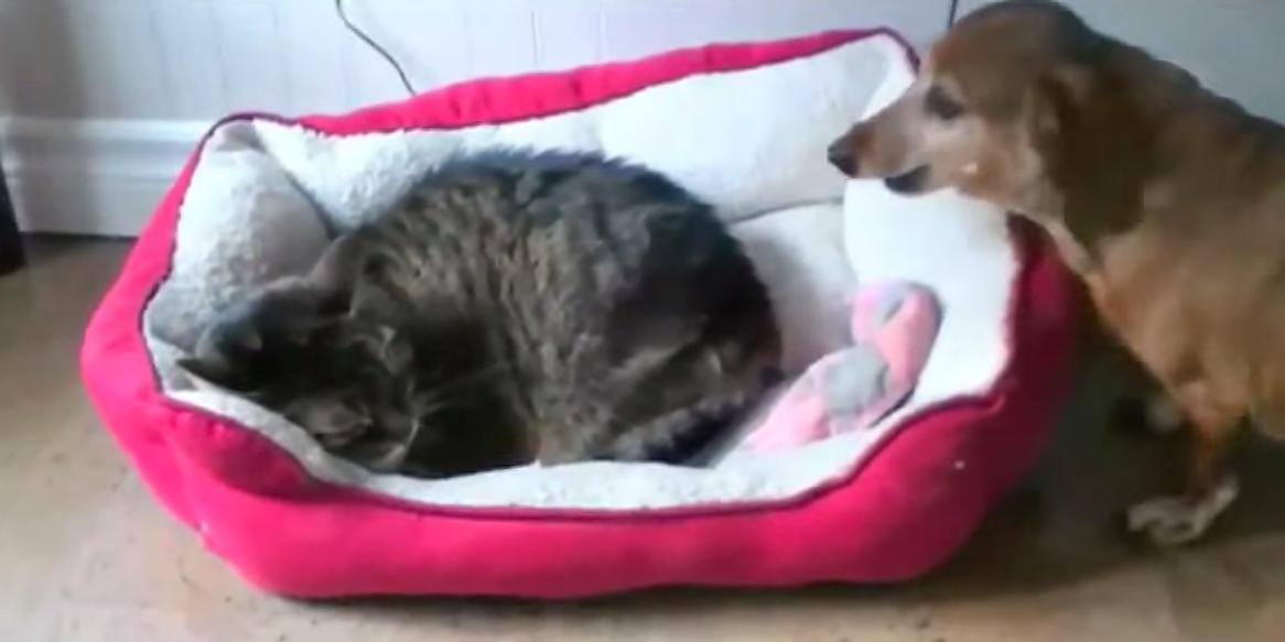 Animali dispettosi quando i gatti rubano la cuccia al for Cuccia cane ikea