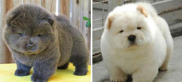 25 Cani che Assomigliano incredibilmente a degli Orsacchiotti di Peluche