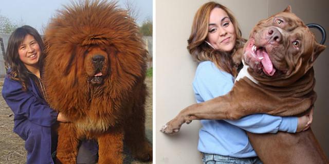 30 Buffe Foto di Cani che Non Sanno di Essere Enormi