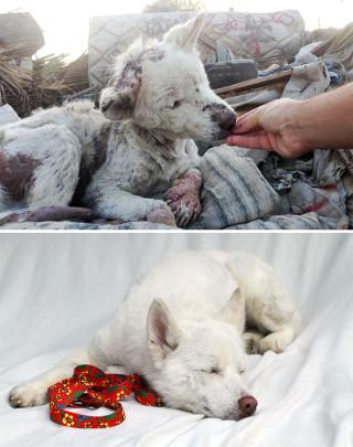 25 Commoventi Foto di Cani Prima e Dopo essere stati Salvati