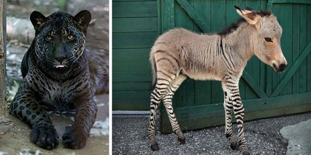 14 Strani Animali Ibridi che Farai Fatica a Credere Esistano Davvero