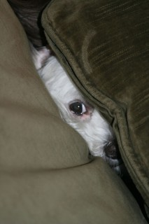 Giochiamo a Nascondino? Ecco 25 Cani Che Credono Di Essersi Nascosti per Bene