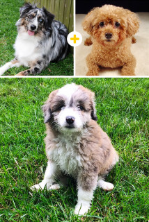 Cani: 14 Strani (ma Tenerissimi) Incroci che Non Credevi Esistessero