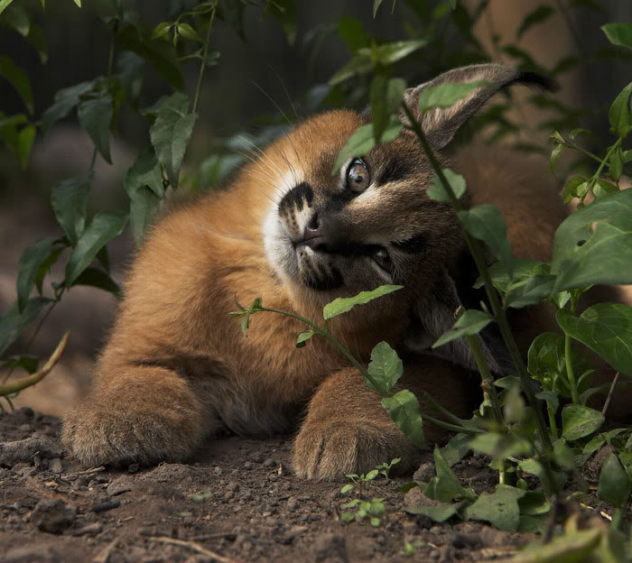 È la razza di gatto più bella del mondo (forse), ma non fatevi ingannare da questi occhi
