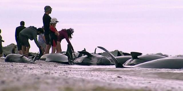 Orrore sulla spiaggia: oltre 400 balene spiaggiate. Più di 300 sono già morte