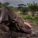 Natura violentata: il rinoceronte mutilato vince il Wildlife Photographer of the Year