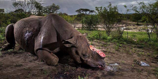 Natura violentata: il rinoceronte mutilato vince il Wildlife Photographer of the Year