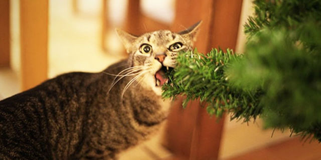 Gatti vs Natale: chi vincerà quest'anno?