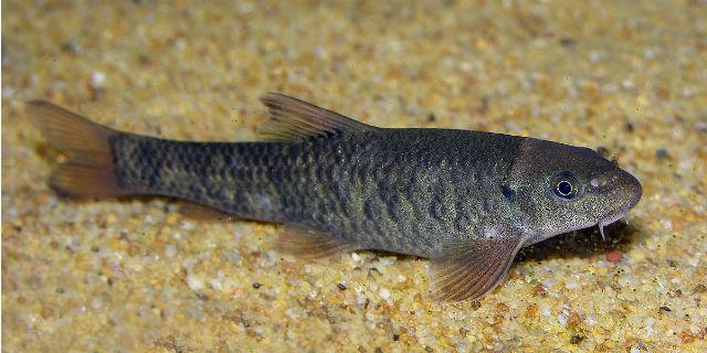 Garra Rufa: il pesce della fish pedicure
